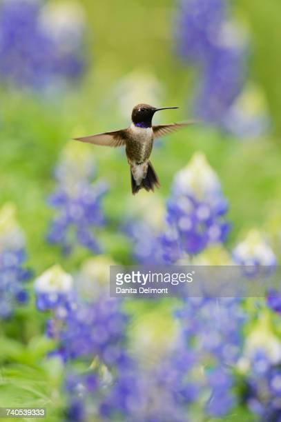 Black-chinned Hummingbird (Archilochus alexandri) flying among blooming Texas Bluebonnet (Lupinus texensis), Hill Country, Texas, USA