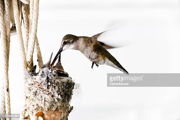 On y trouve des colibris à manteau noir