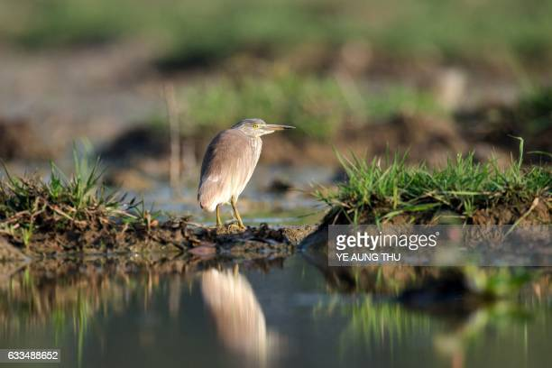A blackcrowned night heron is seen in the Moe Yun Gyi wetlands in Bago Division around 70 miles north of Yangon on February 2 2017 Myanmar marked...