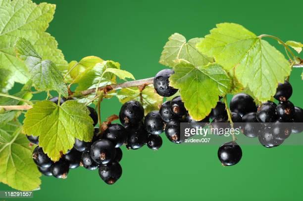 Blackcurrant bunch