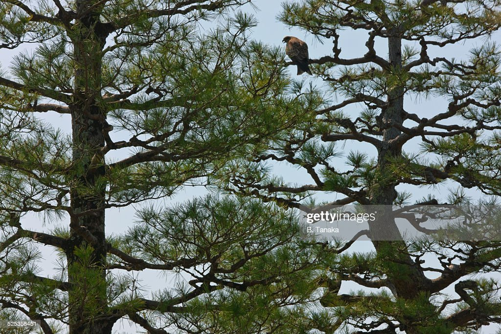 Black-Eared Kite on Lake Biwa, Japan