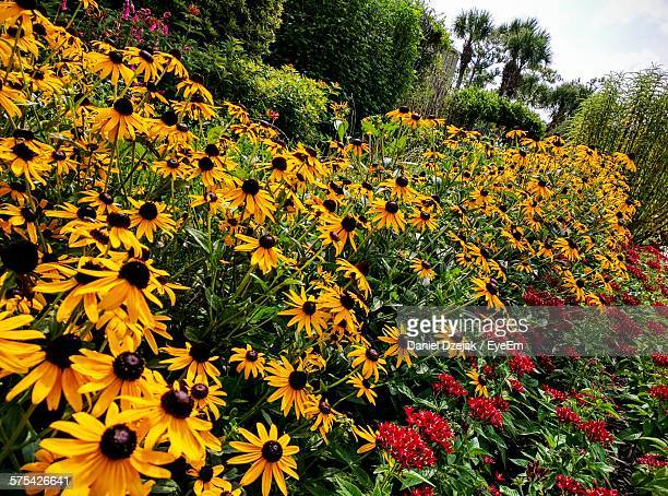 Black-Eyed Susan And Ixora Blooming In Lawn