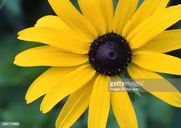 Black-eyed susan daisy