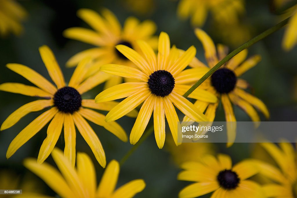 Black-eyed susan : Stock Photo