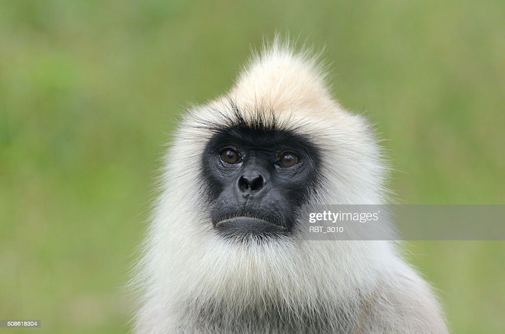 Black-faced langur monkey : Stock Photo
