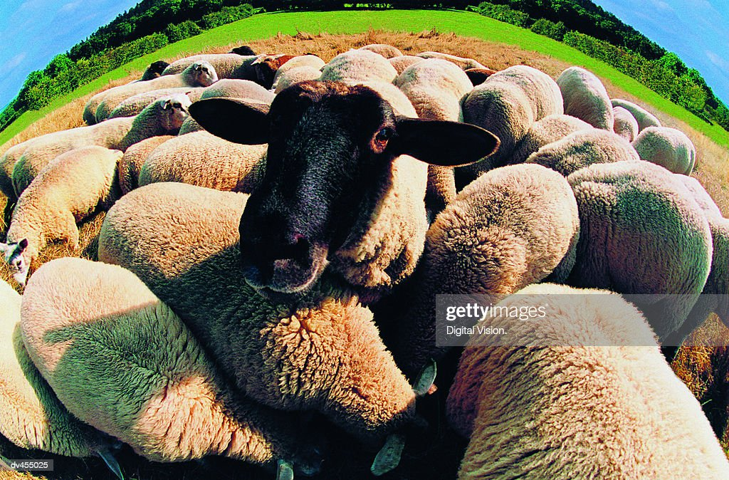 Black-faced Sheep in Herd : Stock Photo