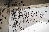 Blackflies swarming inside a building corner on a window screen.