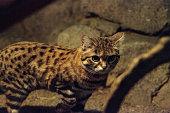 gato bravo de patas negras fotografias e ilustrações imagens