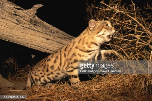 Black-footed cat (Felis nigripes) walking under log at night