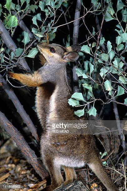 A Blackfooted Rock Wallaby eating Grevillea leaves in the Western MacDonnell Ranges National Park, Northern Territory, Australia