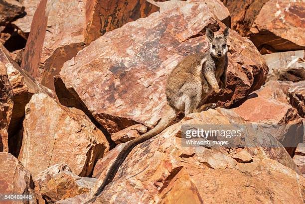 Black-footed Rock-wallaby (Petrogale lateralis)