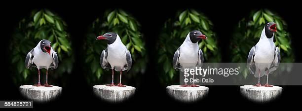 Black-Headed Gull Multi-Image Quadtych