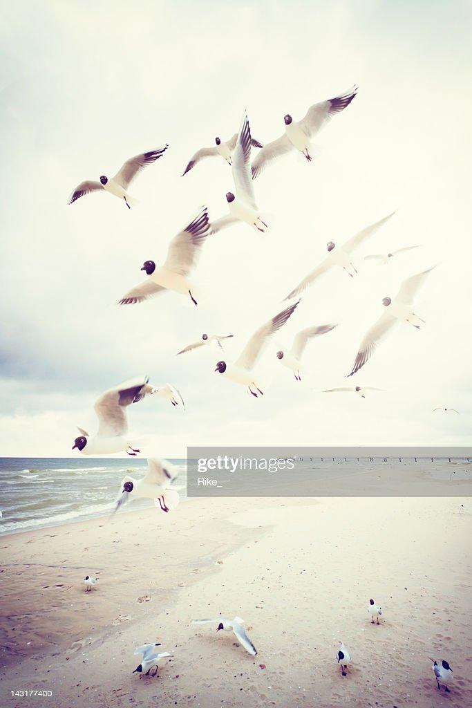 Black-headed gulls at the Baltic Sea : Stock Photo
