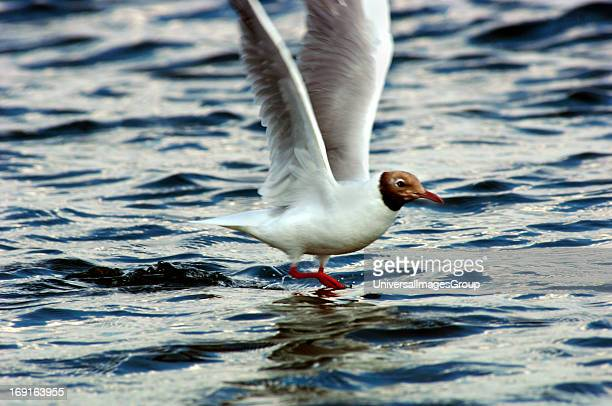 BlackHeaded GullTaking Off From A Lakes Surface
