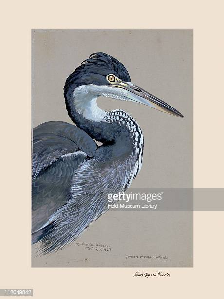 Blackheaded heron Plate 2 a watercolor Louis Agassiz Fuertes 1927