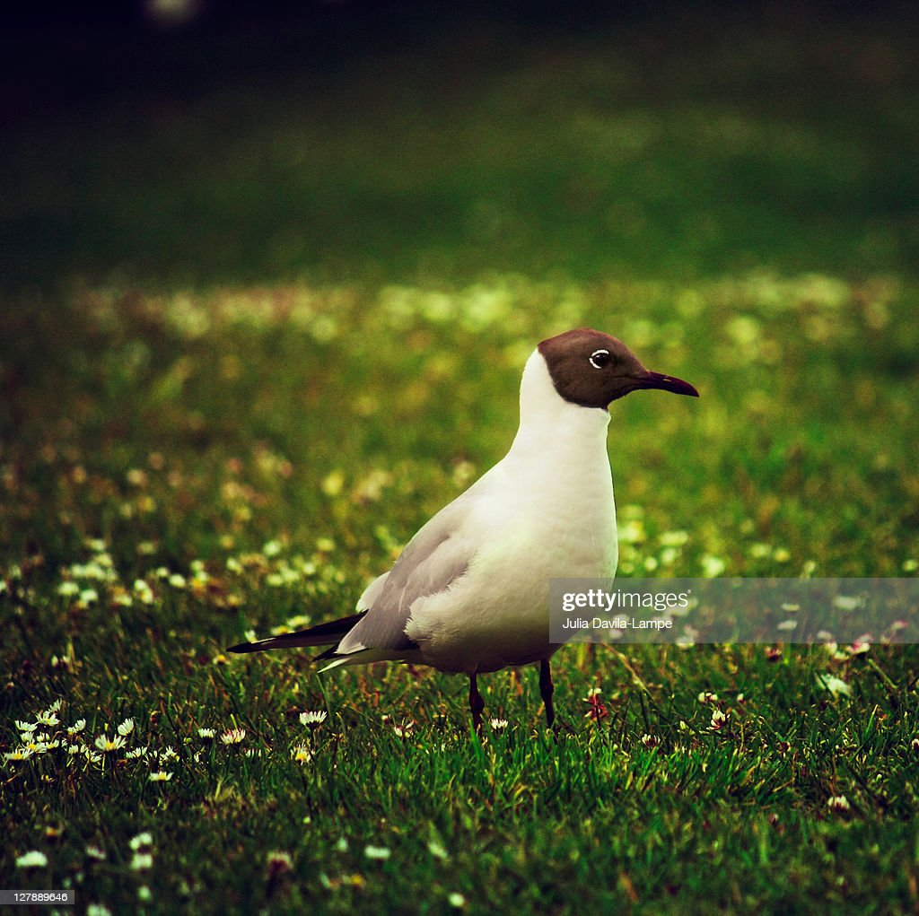Black-headed Seagull : Stock Photo