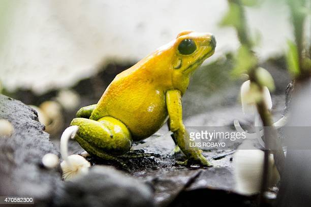 A blacklegged dart frog is photographed in a laboratory at the zoo in Cali Colombia on April 21 2015 The zoo of Cali has the largest amphibians...