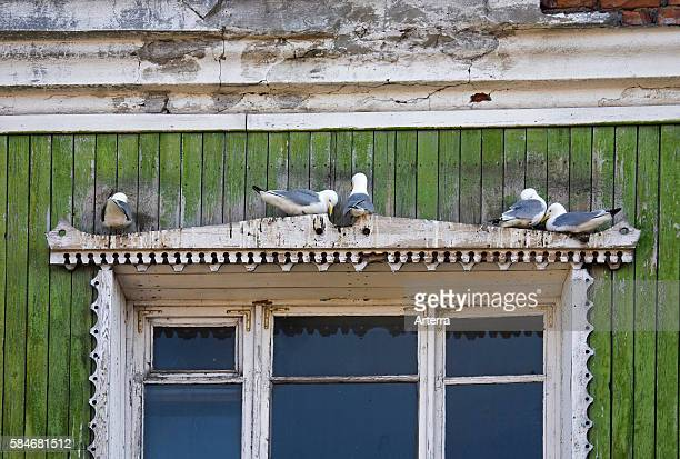 Blacklegged kittiwakes nesting above window of house in Barentsberg Svalbard Spitsbergen Norway