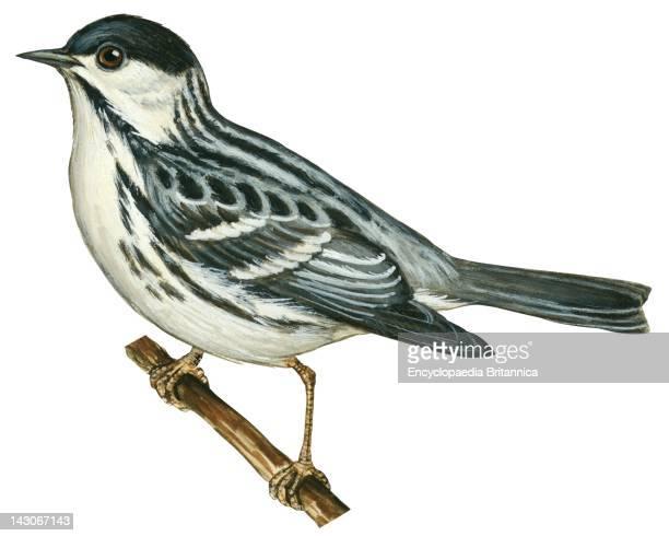 Blackpoll Warbler Blackpoll Warbler