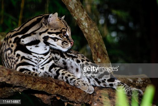 A black-spotted ocelot hanging out in a tree