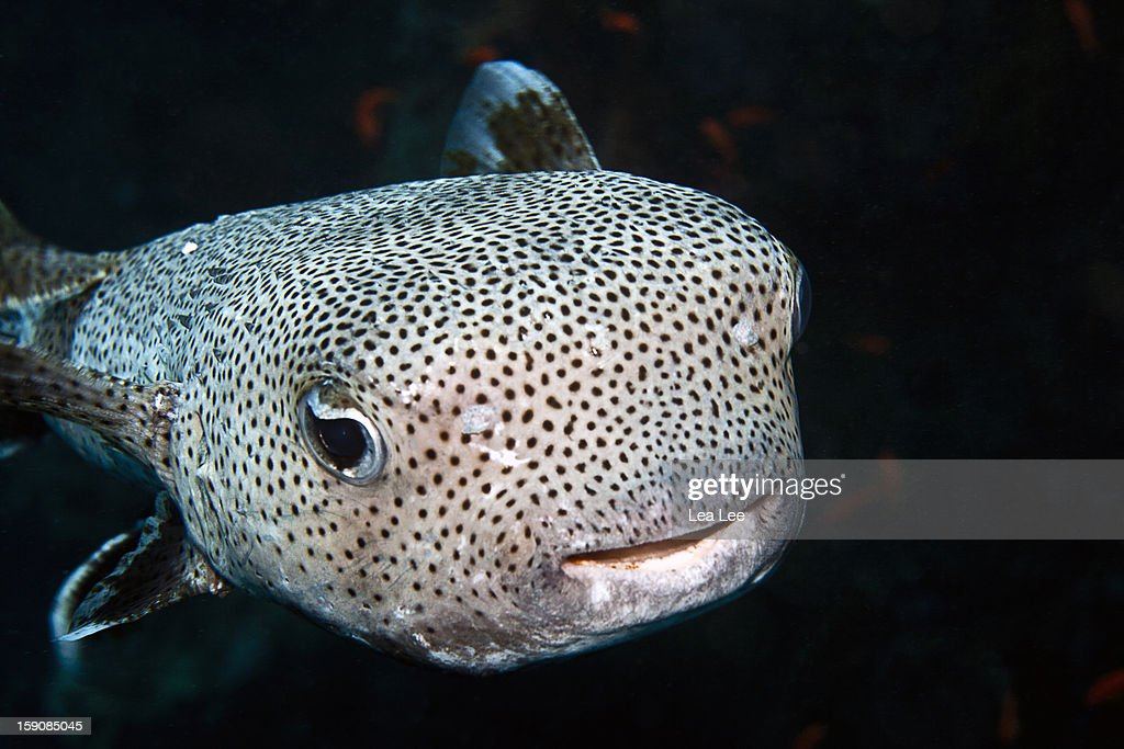 Black-spotted Porcupinefish