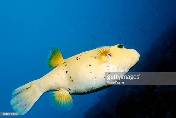 Blackspotted Puffer, Blackspotted Toadfish or Dog-faced Puffer (Arothron nigropunctatus), Maldive Islands, Indian Ocean