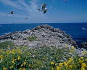 Black-Tailed Gulls flying over Kabu Shima Island, Hachinohe, Aomori Prefecture, Japan