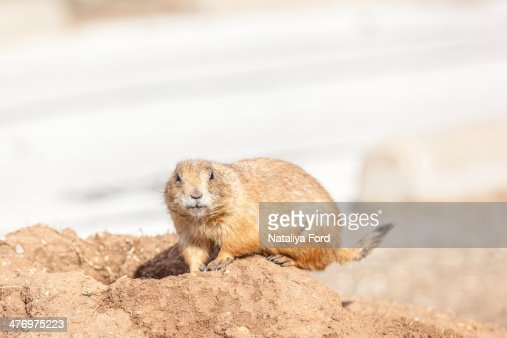 Blacktailed Prairie Dog In Its Habitat Stock Photo | Getty ...