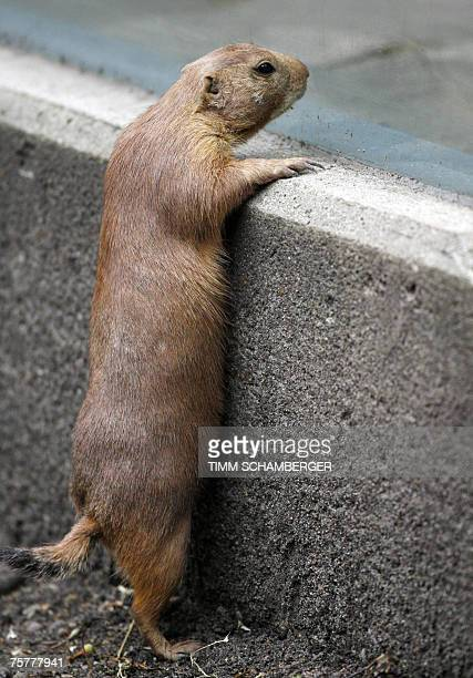 A blacktailed prairie dog looks around its enclosure at the zoo in the southern German town of Nuremberg 27 July 2007 The blacktailed prairie dog is...