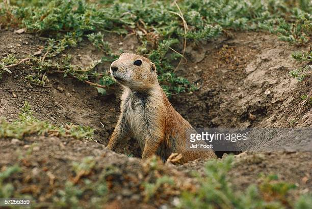 Blacktailed prairie dog peers out from burrow hole. Cynomys ludovicianus. Wind Cave National Park, South Dakota.
