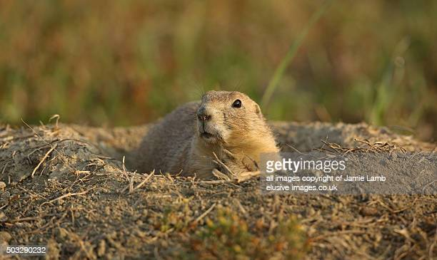 Black-tailed prairie dog portrait, Badlands
