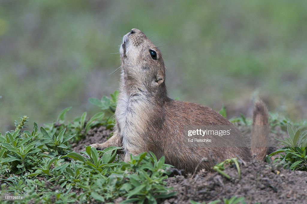 Black-tailed Prairie Dog Whistling