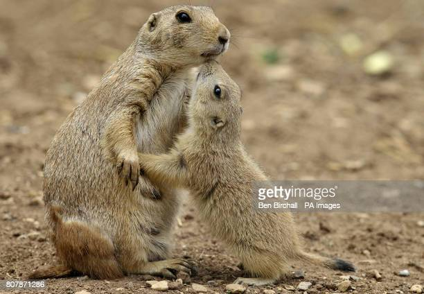 A blacktailed prairie dog with one of it's young inside the prairie dog enclosure at Bristol Zoo Gardens Bristol where the first batch of Summer...