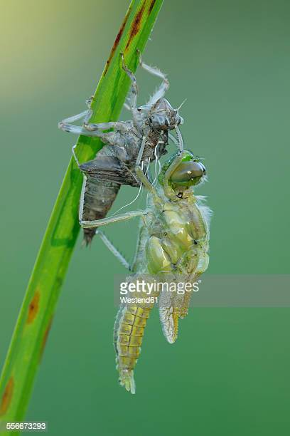 Black-tailed Skimmer eclosing