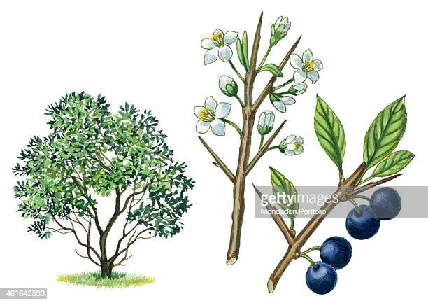 Blackthorn by Giglioli E 20th Century ink and watercolour on paper Whole artwork view Drawing of the plant with flowers and fruits