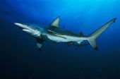 Blacktip reef shark (Carcharhinus melanopterus) and sharksucker fish (Echeneis naucrates)