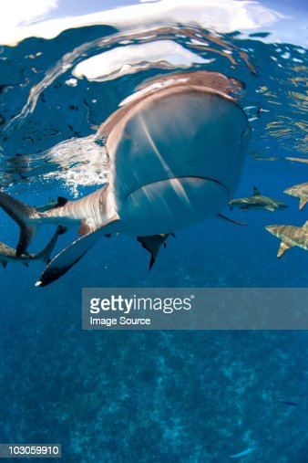Blacktip reef shark approaches. : Stock Photo