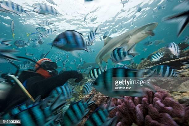 Blacktip Reef Shark at Shark Feeding Carcharhinus melanopterus Beqa Lagoon Viti Levu Fiji