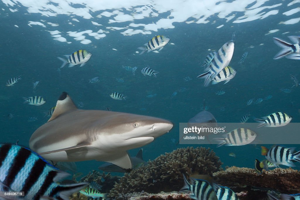 Blacktip Reef Shark Carcharhinus melanopterus Beqa Lagoon Viti Levu Fiji
