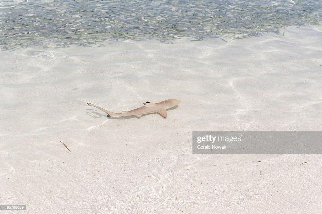 Blacktip Reef Shark -Carcharhinus melanopterus- in shallow water, Kurendhoo Island, Lhaviyani Atoll, Maldives