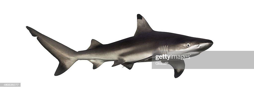 Blacktip reef shark, Carcharhinus melanopterus : Stock Photo