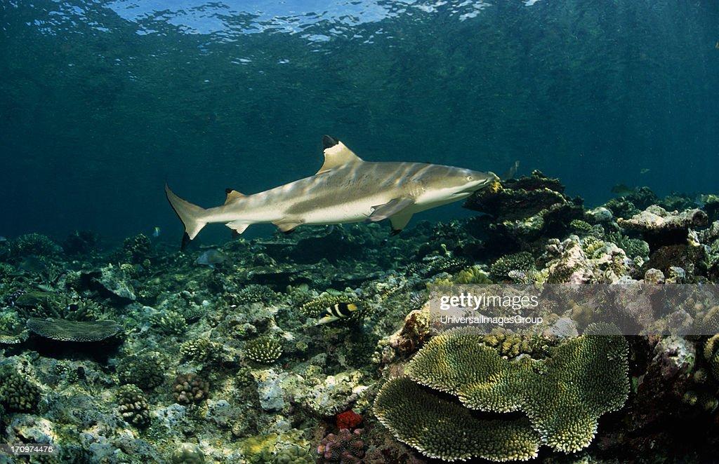 Blacktip Reef Shark Carcharhinus Melanopterus swmming underwater