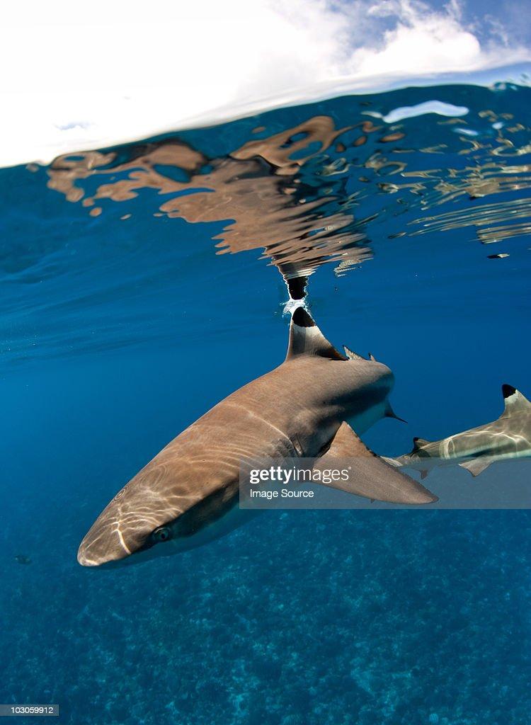 Blacktip reef shark.