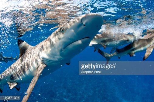 Blacktip reef shark  (Carcharhinus melanopterus) : Foto de stock