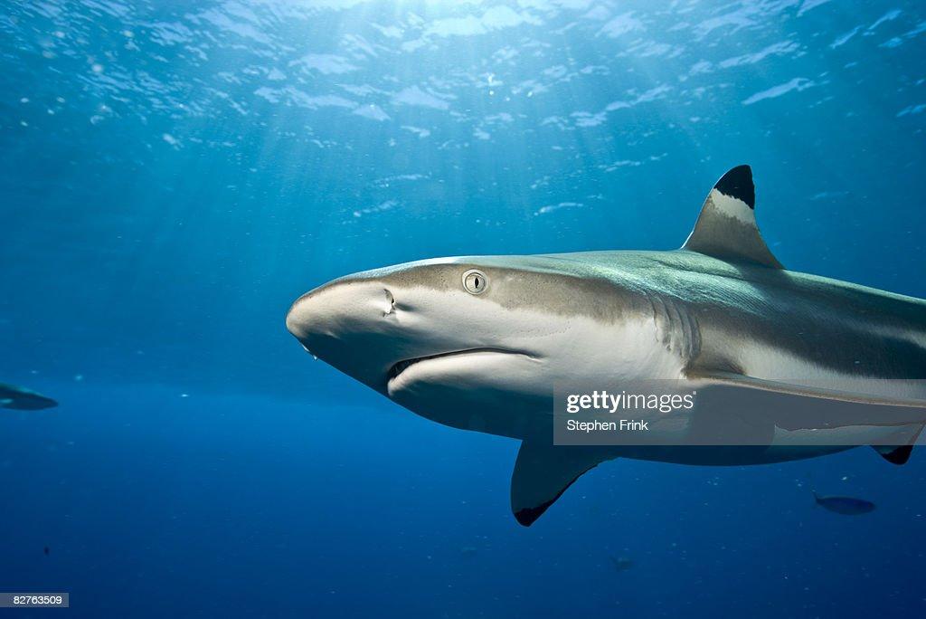 Blacktip reef shark (Carcharhinus amblyrhynchos) : Stock Photo
