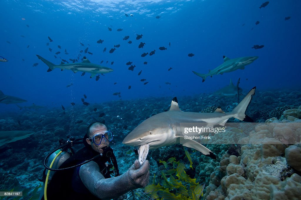 Blacktip Reef Shark (Carcharhinus melanopterus) : Stock Photo