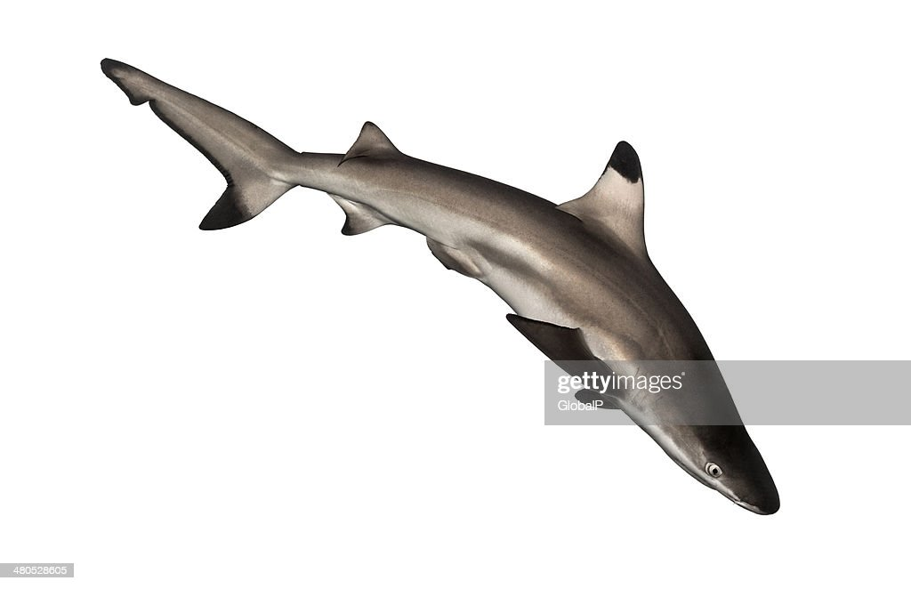 Blacktip reef shark swimming down, Carcharhinus melanopterus : Stock Photo