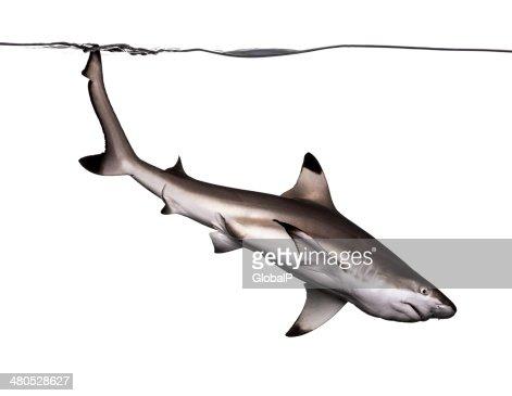 Schwarzspitzenriffhai Schwimmen unten, Carcharhinus melanopterus : Stock-Foto