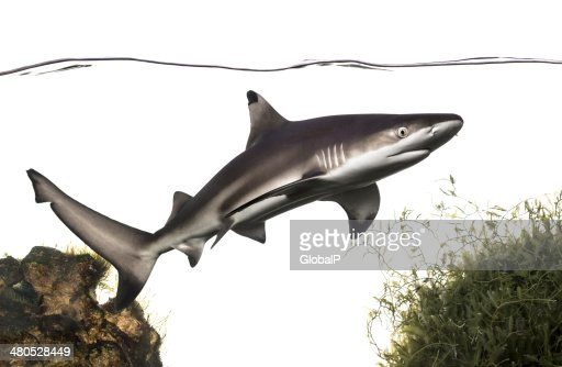 Blacktip reef shark swimming under water line, among plants : Stockfoto