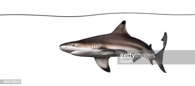 Blacktip reef shark swimming under water line, Carcharhinus mela : Stock Photo